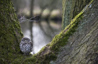 Little Owl in Oak