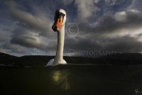 Curious Mute Swan