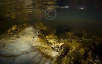 River Mawddach gold