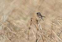 Stonechat on reed