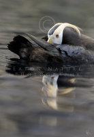 Tufted Puffin on calm sea