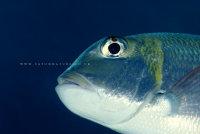 Whitebelly Damselfish