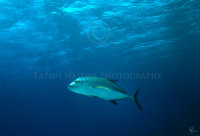 Trevally in Blue Water