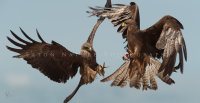 Two Black Kites and a Frog