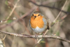 Robin perched on branch (II)