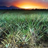Costa Rica, Pineapple Sunset