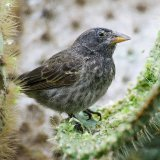 Common Cactus Finch (Darwin Finch)