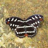 Amazon Butterfly 2