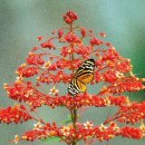 Amazon Butterfly 1
