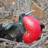 Frigate Bird 1