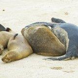 Galapagos Sea Lions 3