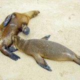 Galapagos Sea Lions 1
