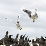 Black Headed Gulls squabbling