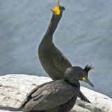 Shags displaying
