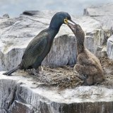 Shag feeding its young