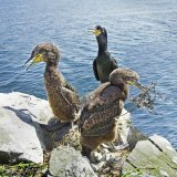 Adult and juvenile Shags