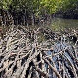 Gambia, Mangroves