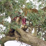 Leopard up a tree with prey 2