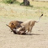 Male killing Wildebeest 2