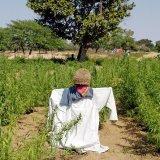 Senegal, Scare crow, Marahujana field