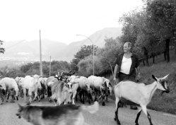 Italian Shepherd