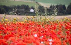 Poppy fields, Falmer