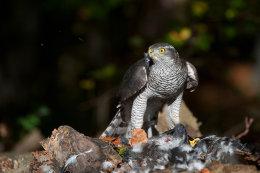 Habicht (Accipiter gentilis)