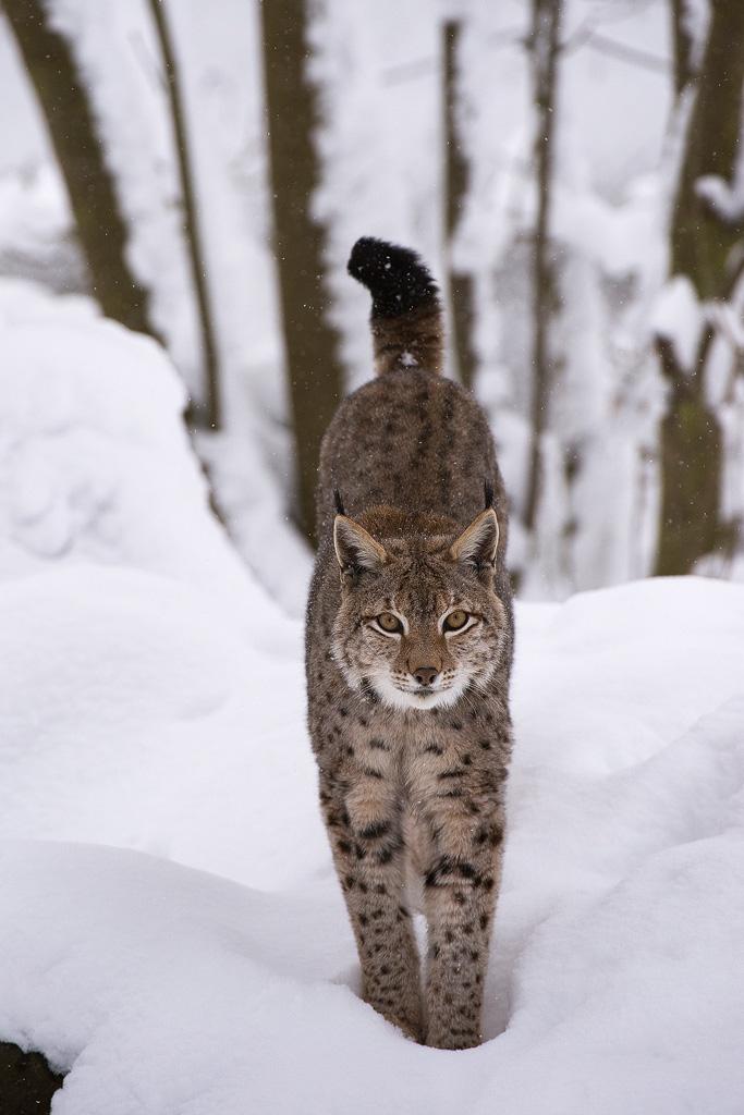 Luchs (Lynx-lynx)