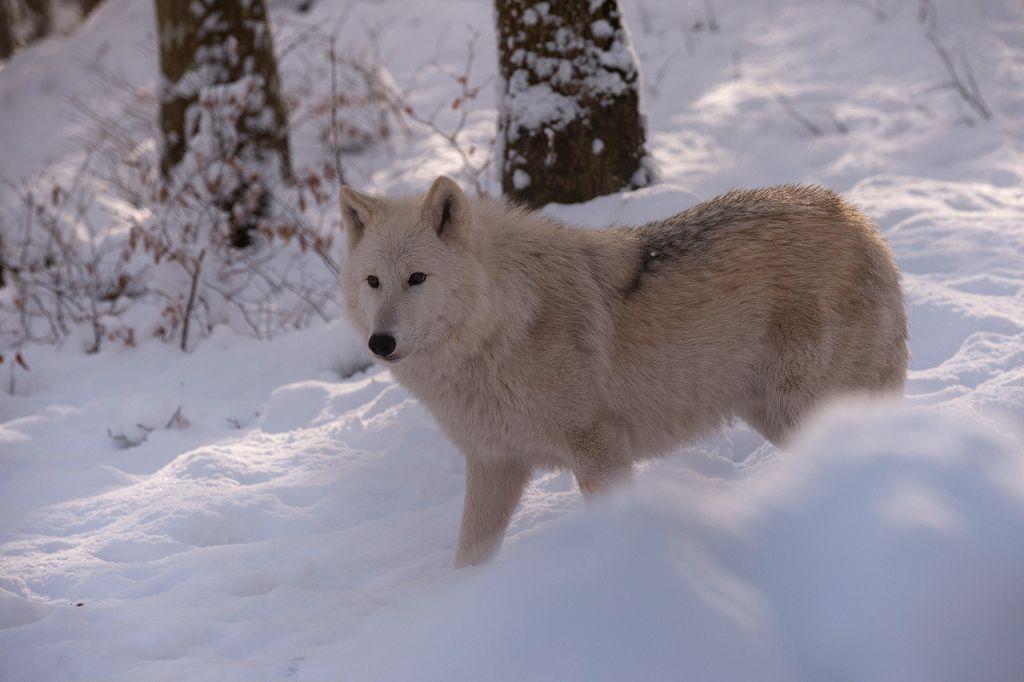 Polarwolf-(Canis-lupus-arctos)20170114002JPG