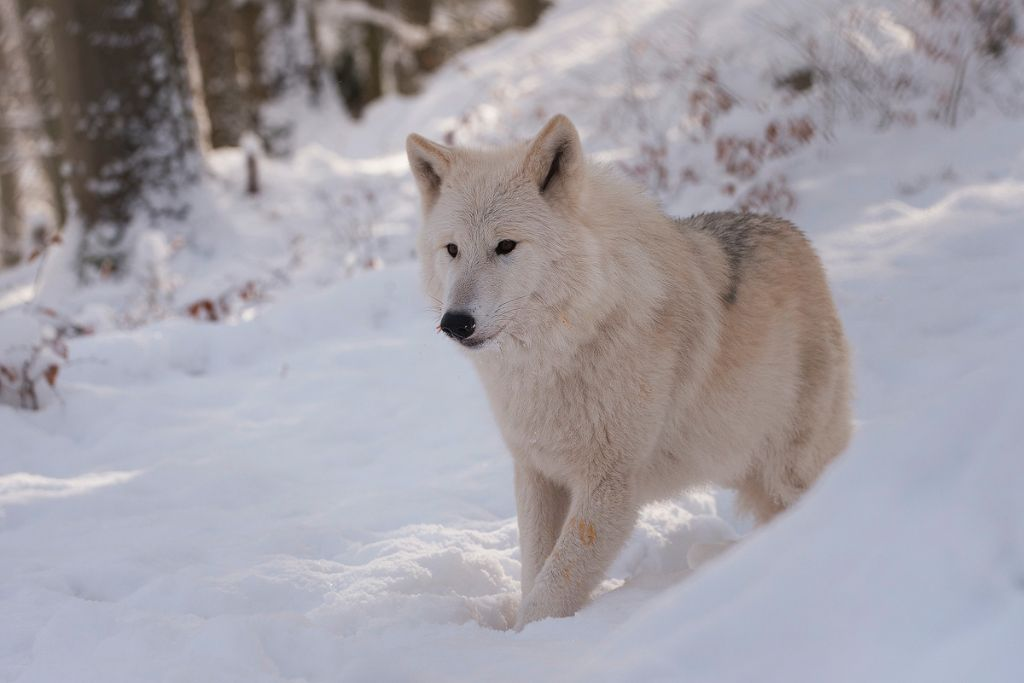 Polarwolf (Canis lupus arctos)