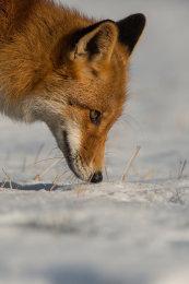 Rotfuchs (Vulpes vulpes)