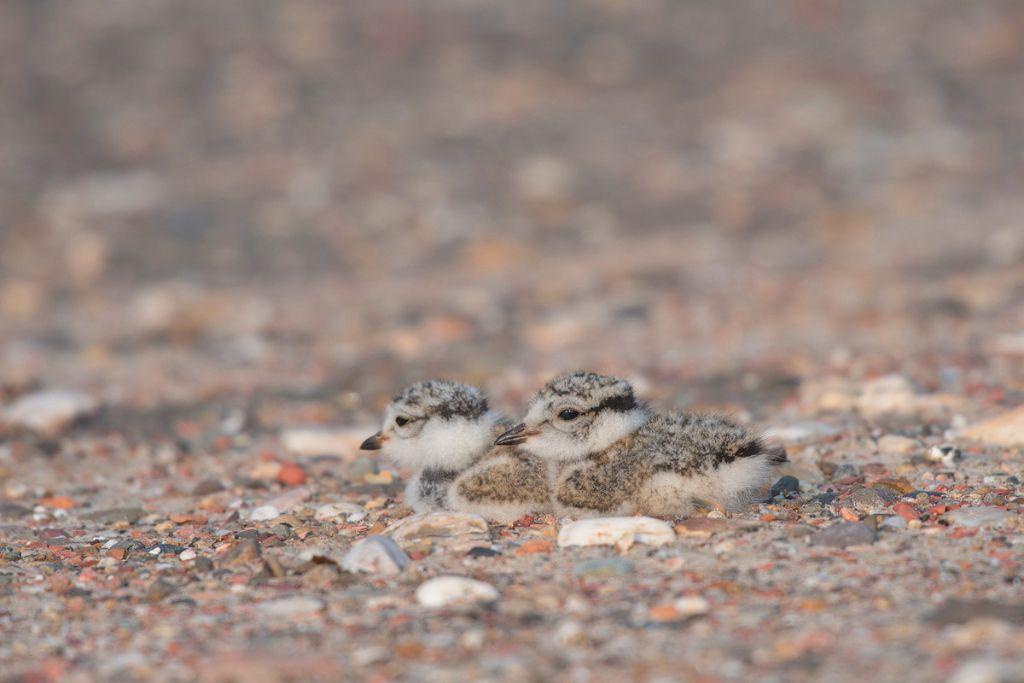 Sandregenpfeifer (Charadrius hiaticula)