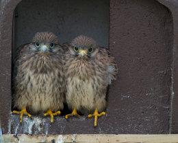Turmfalke (Falco-tinnunculus)