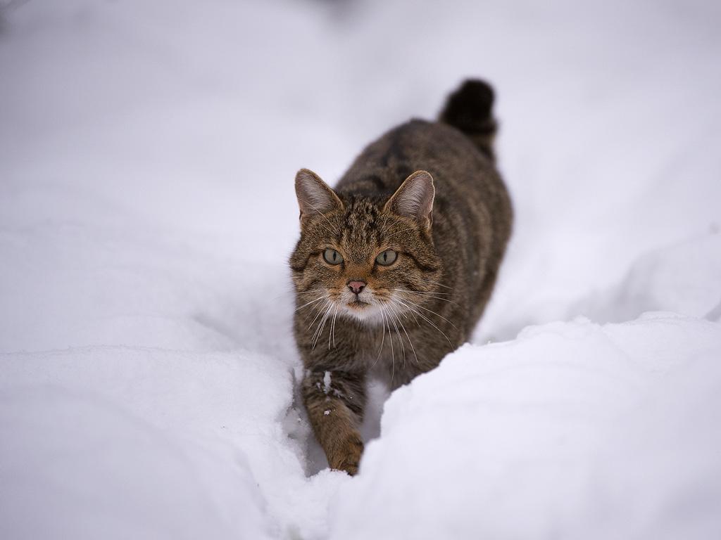 Wildkatze-(Felis-silvestris)20141209JPG0010