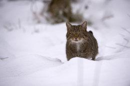 Wildkatze-(Felis-silvestris)20141209JPG0012