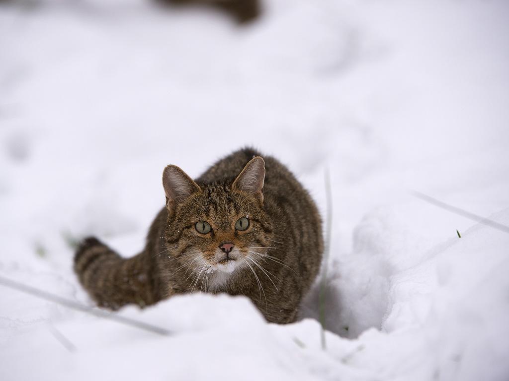 Wildkatze-(Felis-silvestris)20141209JPG0014
