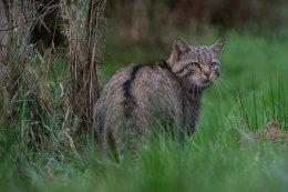Wildkatze (Felis-silvestris)