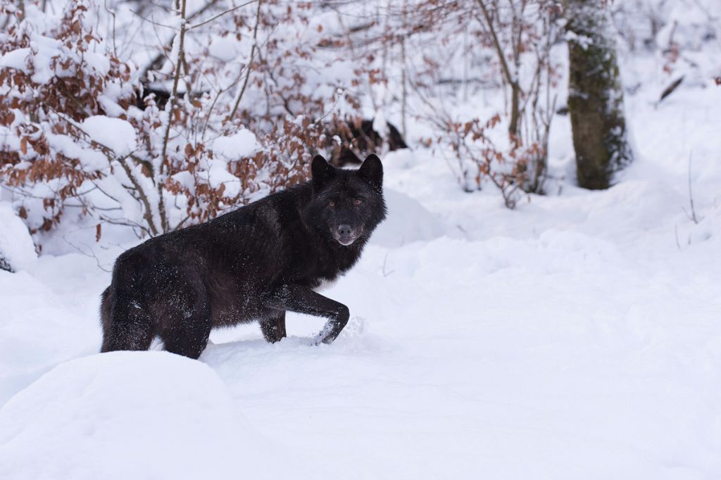 Timberwolf (Canis lupus lycaon)