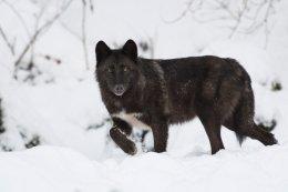 Timberwolf (Canis lupus lycaon)
