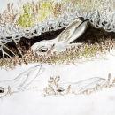 Mountain Hares