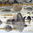 Eiders ,Voe of Browland
