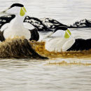 Eiders early morning