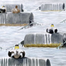 Eiders on Mussel floats