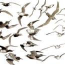 Arctic skua flight studies