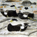 Roosting Eiders at Sandsayre