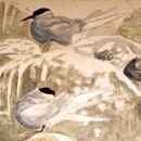 Arctic terns preening