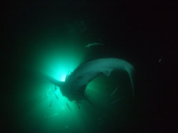whale shark at night