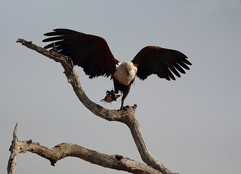 AFRICAN FISH EAGLE WITH CATFISH