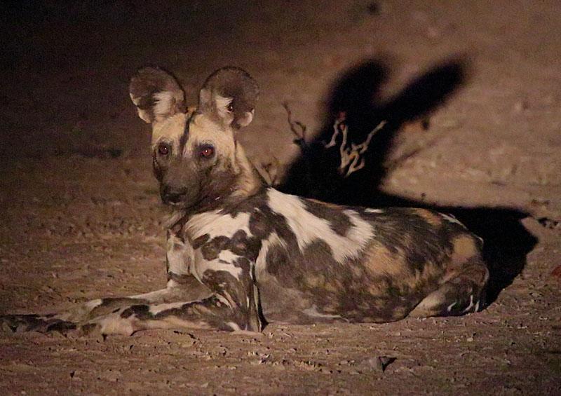 AFRICAN HUNTING DOG AT NIGHT, ZAMBIA