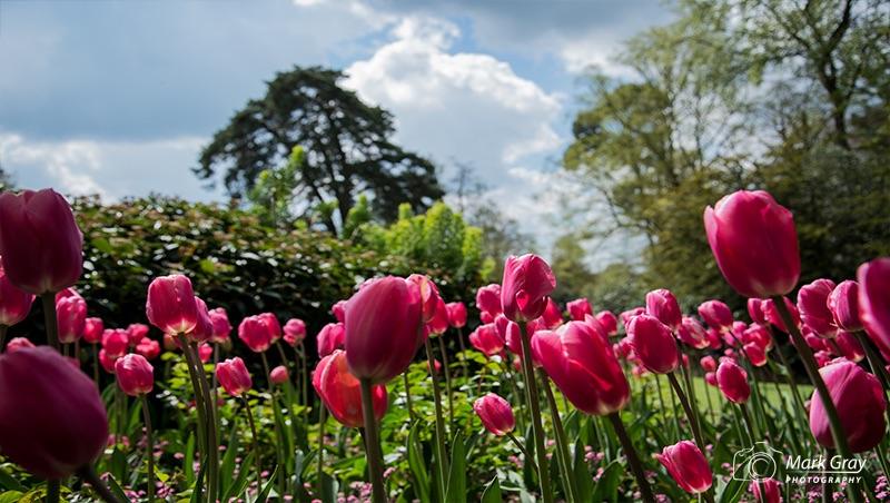Pashley tulips